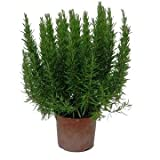 Romero Planta Natural Pequeña Con Maceta - Planta Aromática y Ornamental