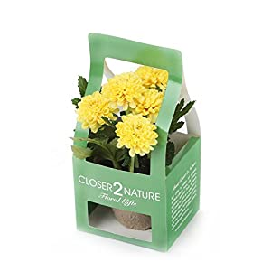 Closer To Nature FP002YC – Crisantemo artificial en caja de regalo, 18 cm, color amarillo