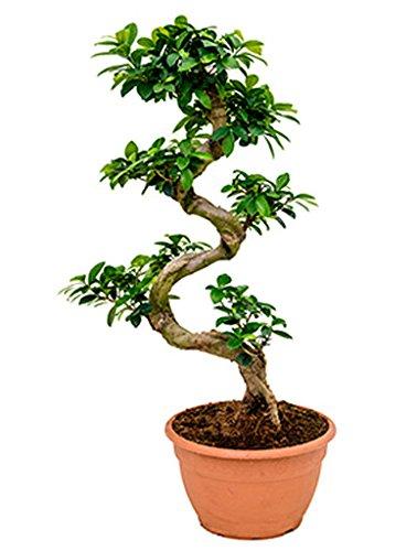 Ginseng Bonsai 60-75 cm im 27 cm Topf asiatische Zimmerpflanze für hellen Standort Ficus microcarpa compacta 1 Pflanze