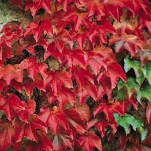 grow-your-secret-garden-boston-ivy-parthenocissus-veitchii-20-seeds