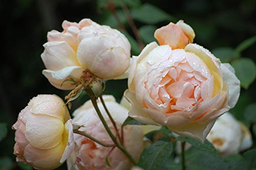 Strong Fruity Fragrance THE POET/'S WIFE-5.5lt Potted David Austin Shrub  Rose