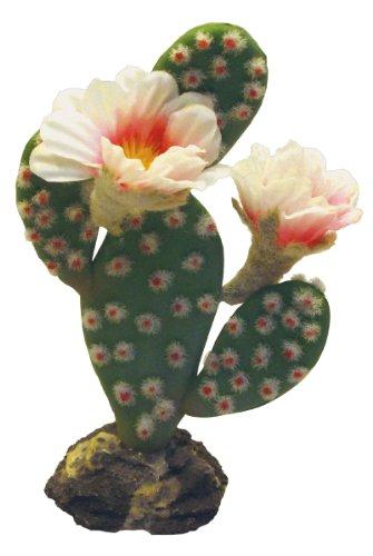 berschwanz Kaktus, auf Felssockel medium, mit zwei Blüten, 17 cm ()