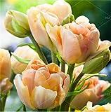 HONIC 200pcs di Alta qualità di Piante del Giardino di Fiore del Tulipano Bonsai Fiore Balcone Pot più Belli Colorati Piante Ornamentali Non Bulbi da Fiore: 21