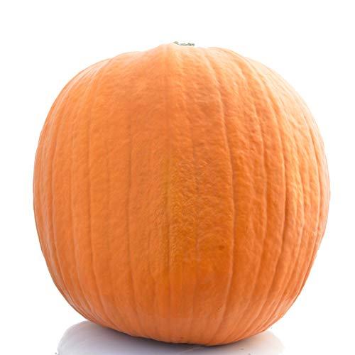 1 XXL Jack O'Lantern (Ø ca. 35-45 cm): Halloweenkürbis - extra großer Schnitzkürbis für Halloween - Kürbis zur Deko im Herbst