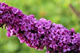 Schmetterlingsstrauch 'Pink Micro Chip' - starke Pflanze im grossen 5L Topf