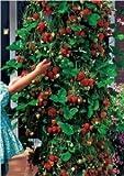 Klattern Erdbeere 10 Samen (Strawberry trailing)