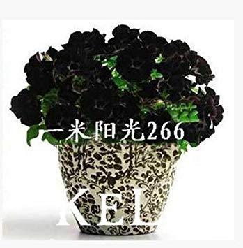 Homely 100 Graines De Petunia Black Velvet Petunia, Variété Rare, Hardy, Balcon Durable, Fleur De Jardin, 4Hwojz