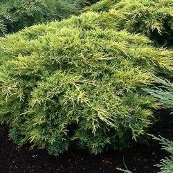 gold-coast-juniper-in-a-3-l-pot-height-30-40-cm