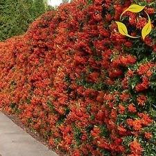 vegherb Scarlet Feuerdorn Pyracantha Coccinea - 50+ Seeds
