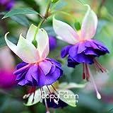 Shopmeeko Seeds: Promozione Piante weiß Fuchsia Bonsai in Vase Flower Garden in Vase Hanging Fuchsia Flowers 50 pc/Paket, CIHMVP: 5