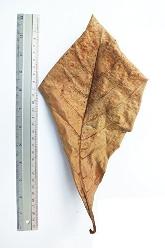 sungrow-catappa-ketapang-indian-almond-leaf-for-fish-tank-10-leaves-a
