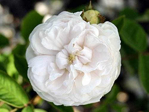 "Moosrose ""Blanche Moreau"" - (wurzelnackte Pflanze)"