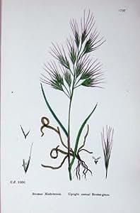 La Botanica Pianta il Bromo Annuale Dritto del Bromo C1902