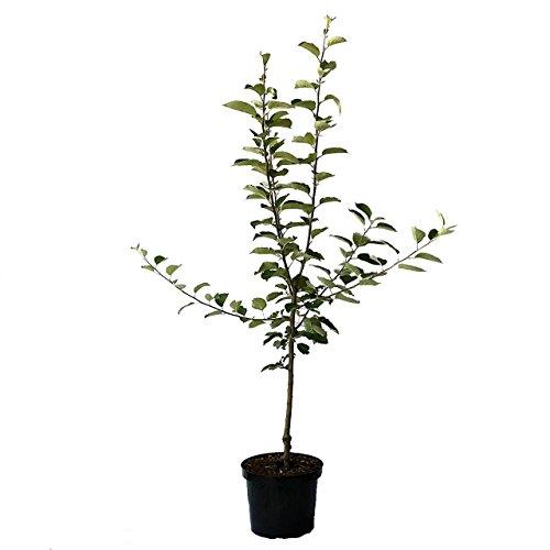 Grüner Garten Shop Jamba Apfelbaum gelblichgrün