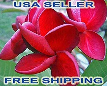 Keimfutter: 10 frische Samen Plumeria/Frangipani RED Velvet USA