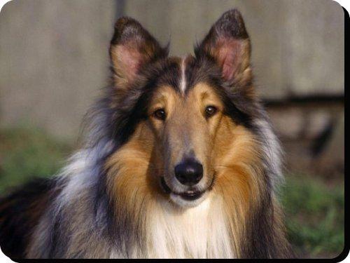 rough-collie-perro-alfombrilla-de-raton-pad-regalo-unico-para-todos-los-amantes-del-perro-225