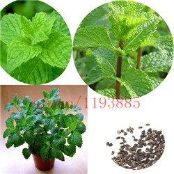 100 piezas semillas de plantas de menta menta verde hierba gatera Semillas de semillas de flores bonsái vegetales comestibles de hierbas para el jardín de fácil cultivo