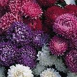 JustSeed Blume Aster Milady, Mischung, 100 Samen