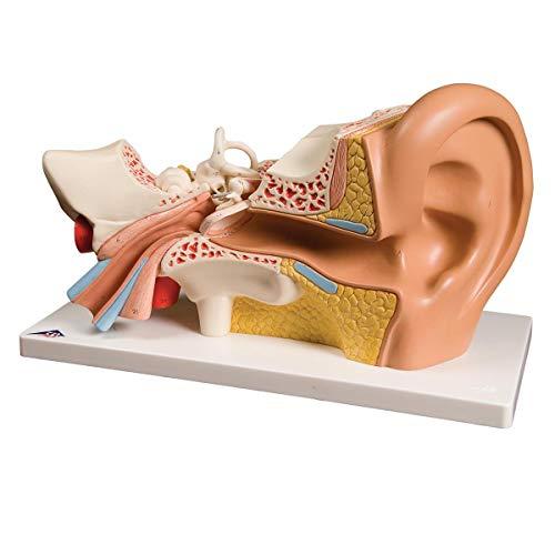 3B Scientific Menschliche Anatomie - Ohr, 3-fache Größe, 4-teilig