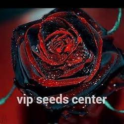 Shopmeeko 100 seltene Rosenpflanze Black Rose Flower mit rotem Rand Seltene Rose Flowers-Pflanze. Für Garten-Bonsaipflanzen: 2
