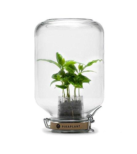 Pikaplant Terrarium en Verre ou Serre Autonome Jar/Plante d'intérieur Mini caféier Inclus - 17 x 17 x 28H cm - 2 KG - Garantie 3 Mois
