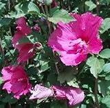 Ibiscus hibiscus piante da giardino coltivazione for Ibisco rosso