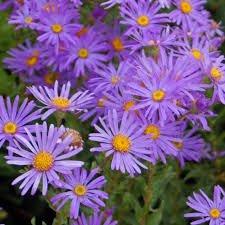 Rhizome ( Bulbe, Plant, Racine ) aster novii fleur vivace