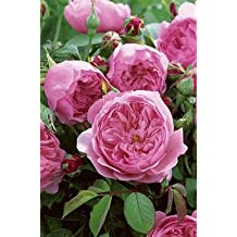 Englische Rose 'The Alnwick Rose' -R- im 4 L Container