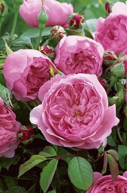 'The Alnwick Rose' -R-, Englische Rose im 4 L Container