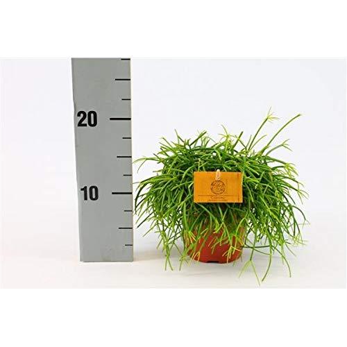 Korallenkaktus 20 cm Rhipsalis cassutha pflegeleichte Zimmerpflanze