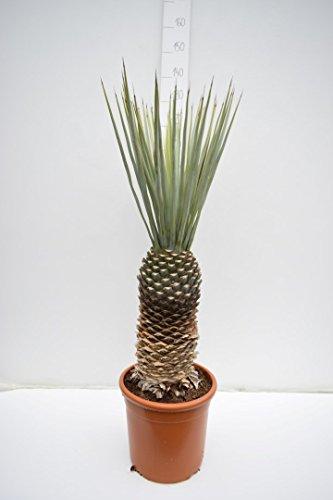 Winterharte Blaukronige Kugelyucca - Yucca rigida - Gesamthöhe 110-130cm - Stamm 40+cm - Topf ø34cm)