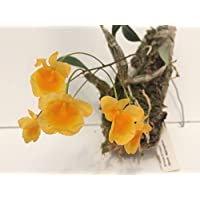 1 blühfähige Orchidee der Sorte: Dendrobium aggregatum , traumhafte Orchidee vom deutschen Züchter