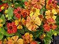 Sonnenbraut 'Wonnadonga' - Helenium 'Wonnadonga' - Staude von Native Plants von Native Plants - Du und dein Garten