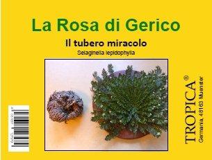 Galleria fotografica TROPICA - Rosa di Gerico (Selaginella lepidophylla) – piccole dimensioni - tuberi - 5 pezzi
