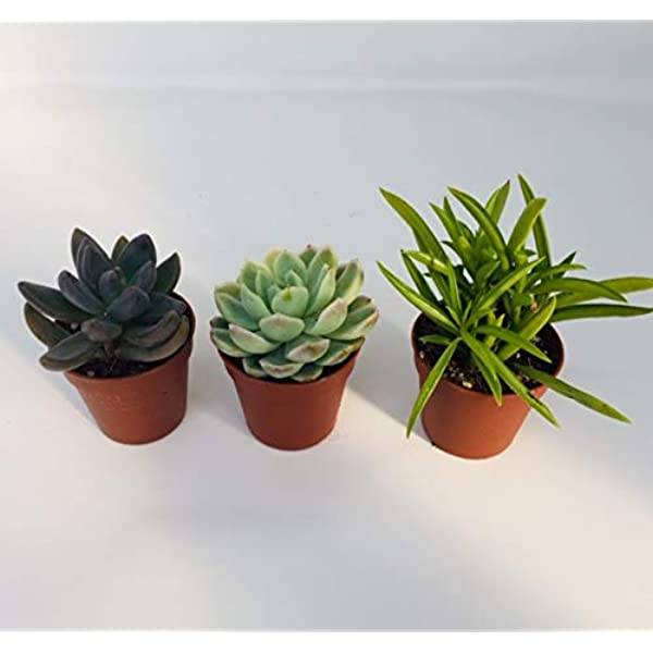 3 Mixed Succulent Plants In 5 5cm Pots House Indoor Plant Plant Gift Amazon Co Uk Garden Outdoors