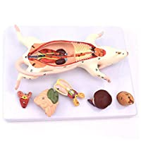 BIUYYY Scientific Animal Anatomy - Rat Anatomy Skeleton Model, for Science Teaching Experiment, PVC Material