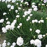 Pack X6 Thrift Armeria Maritima Alba White Perennial Plug Plants
