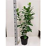 Kirschlorbeer 'Novita' 80-100 cm - 10 Pflanzen - Prunus laurocerasus 'Novita' - Topfgewachsen