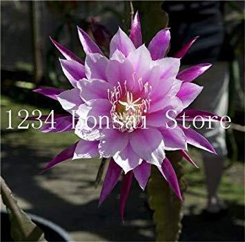 100 pezzi rari piante di cactus giapponese fiore epiphyllum succulente piante fiore sementes bonsai piante piante per interno fiori pot: 19