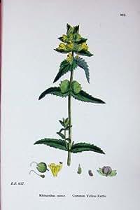 Le Jaune-Hochet Commun Rhinanthus Sowerby Plante C1902