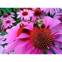 "PlenTree Coneflower púrpura""Echinacea"" 100 semillas"
