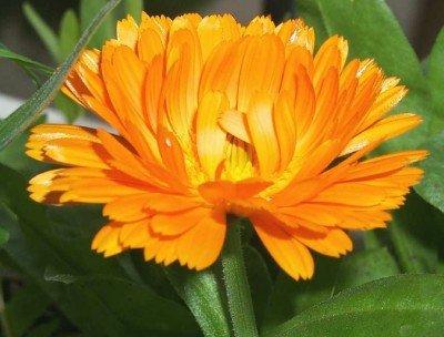 Heirloom 250 graines de calendula Pot Marigold Anglais Golden Orange Garden Herb Flower vrac Graines B1012