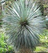 Yucca rostrata - 50 Samen - extrem frosthart