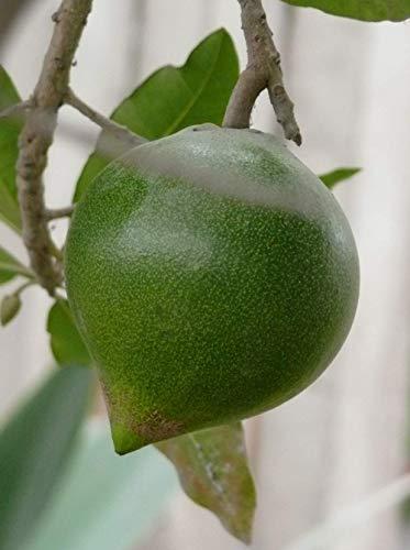 Sapote Lucuma Pouteria lucuma Pflanze 5-10cm Eierfrucht Lucumo Rarität