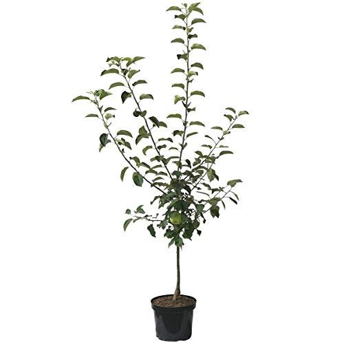 Müllers Grüner Garten Shop Cox Orange kleinbleibender Apfelbaum Obstbaum als Zwergbaum 120-150 cm 10 Liter Topf M26