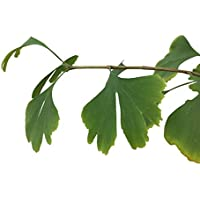 10 Semillas -Ginkgo biloba- by Samenchilishop