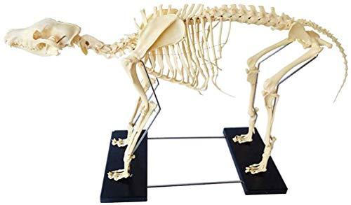 BBYT Groß Hund Hunde Skelett Modell Fortgeschritten PVC Material Tier Probe Biologie Anatomie Medizinisch Veterinär Unterrichten Modell