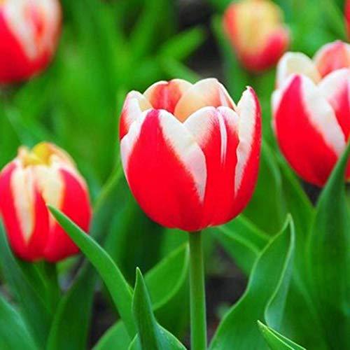 ZIXI Gartensaaten - 100 Stück Tulpenzwiebeln farbig Blumensamen SELTEN Bunte Blumenzwiebeln Hausgarten Zierblumen Tulpen Bonsai Blumen (M)