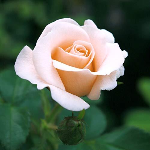 tomgarten Edelrose 'Schloss Ippenburg®' | mehrjährig | zartes rosa | winterhart | starker Duft | 1 Rose