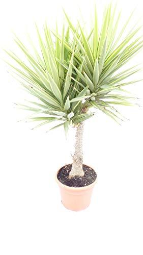Yucca XXL Hochstamm Palme 160-180 cm Elephantipes \'Jewel\', pflegeleichte Zimmerpflanze